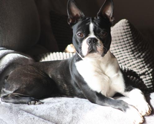 Boston Terrier Rosa-Lee vom Belker Bad