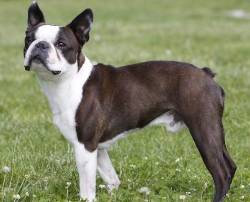 Boston Terrier Sunshine Bostons Cooper alias Coopi
