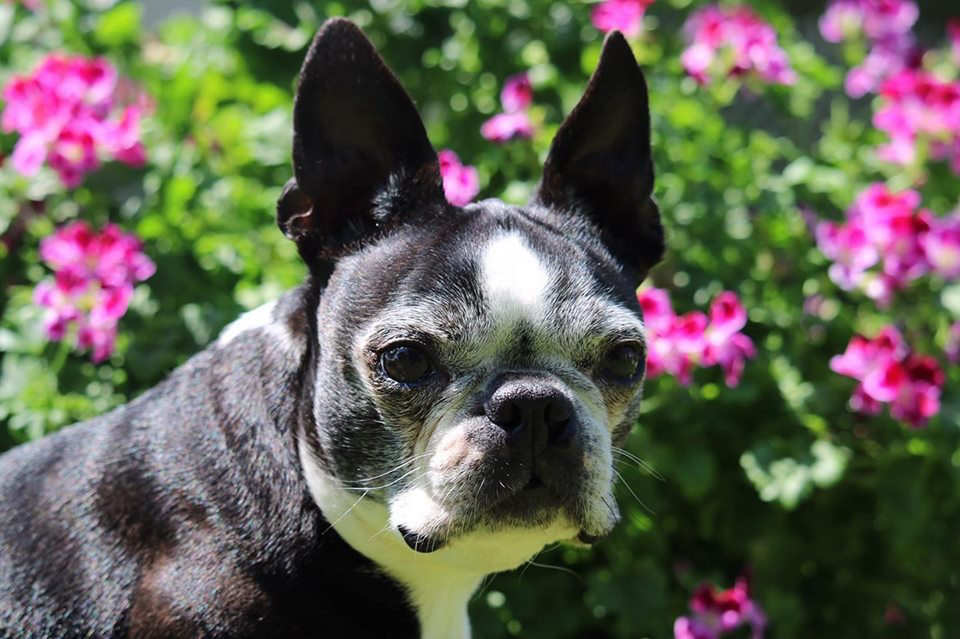 Boston Terrier Lilly