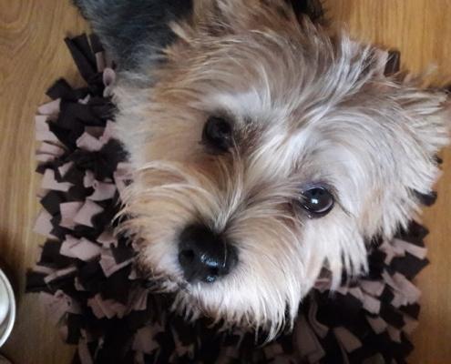 Norman von den zwei Eichen - Norwich Terrier