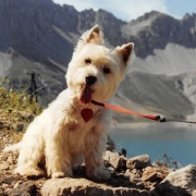 West Highland White Terrier -Caesar