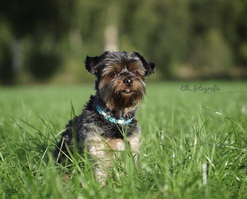 Yorkshire Terrier BEXTER