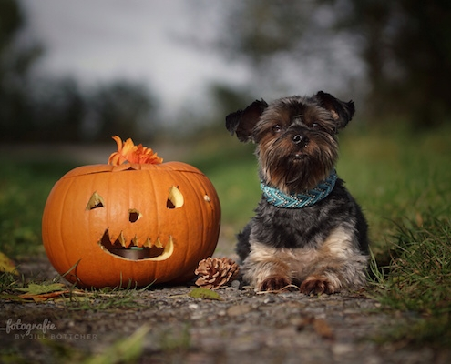 Yorkshire Terrier BEXTER (Helloween)