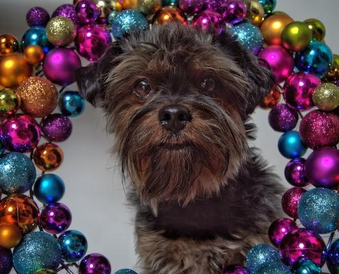 Yorkshire Terrier BEXTER (Weihnachten 2020)