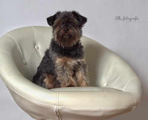Yorkshire Terrier BEXTER (Studio-Fotografie)