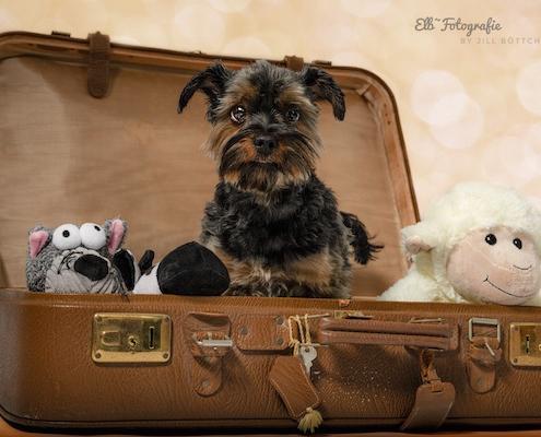 Yorkshire Terrier BEXTER im Reisekoffer