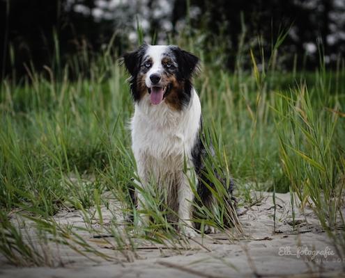 Australian Shepherd SAMMY