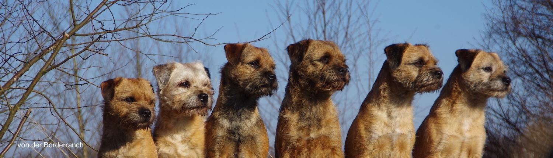 Border Terrier von der Borderranch