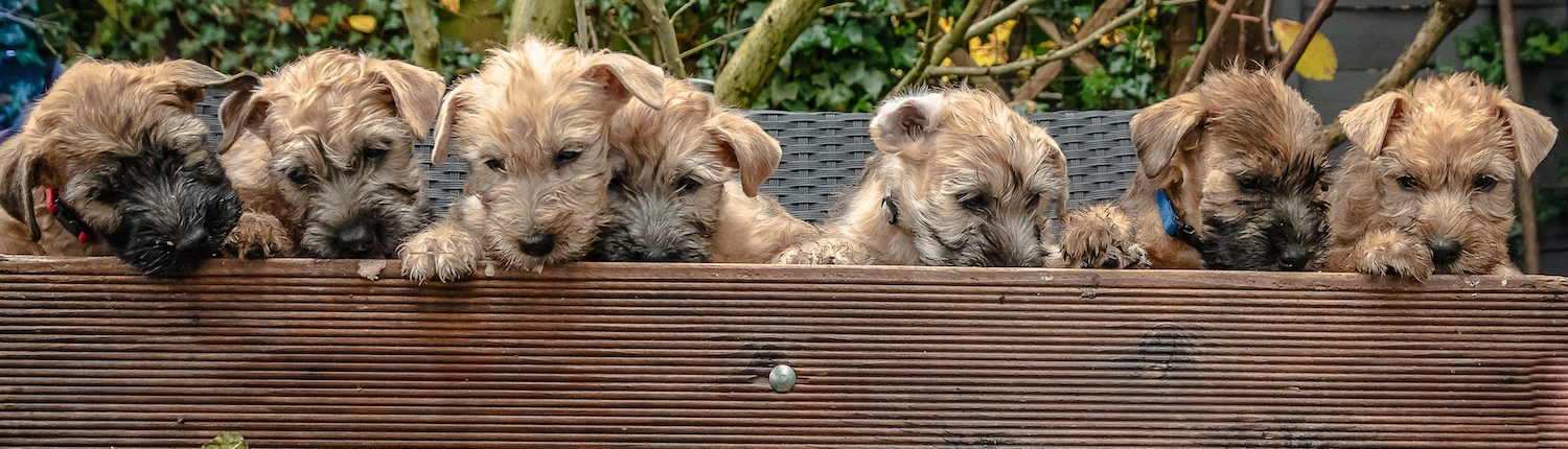 Irish Soft Coated Wheaten Welpen Ballyhara's