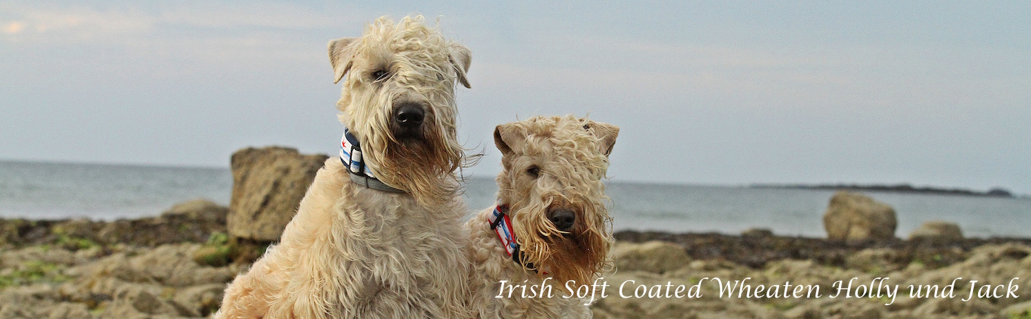 Irish Soft Coated Wheaten Holly und Jack