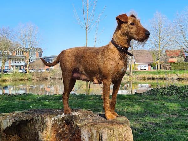 Irish Terrier Käthe vom Haseland