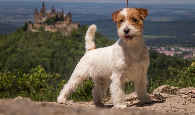 Jack Russell Terrier fotografiert von Michael Janz