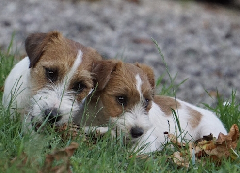 Jack Russell Terrier Dragonheart