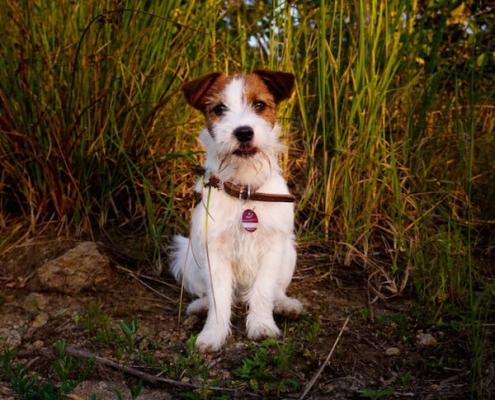 Jack Russell Terrier Bobby v. Paradise of Wind