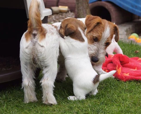 Jack Russell Terrier Bramaujacks