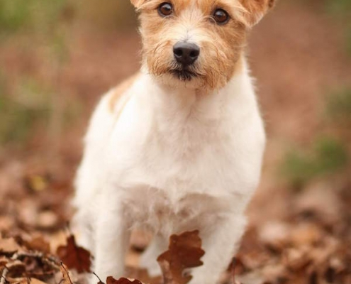 Jack Russell Terrier General's Jack Pot