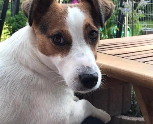 Jack Russell Terrier von Heike L.