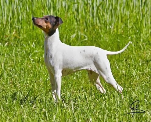 Japanischer Terrier