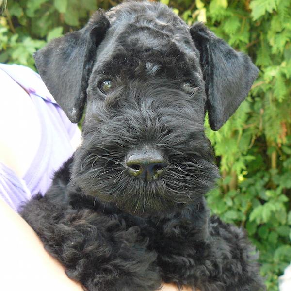 Süßer Kerry Blue Terrier Welpe