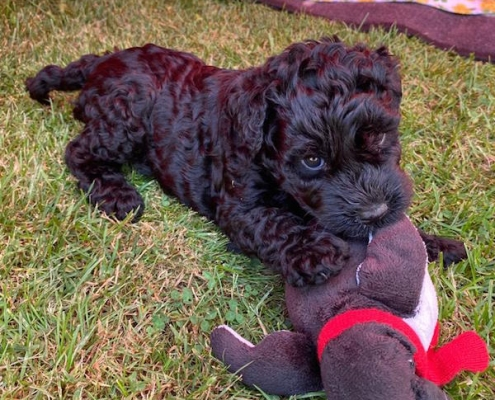 Kerry Blue Terrier Welpe Celtic Blue vom Klosterberg
