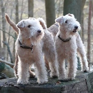 Lakeland Terrier Beards and Tails