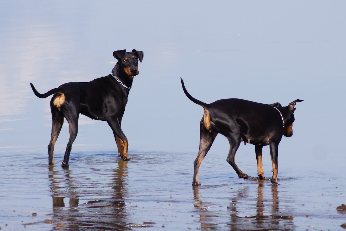 Manchester Terrier - Rassebeschreibung, Adressen und viele Fotos