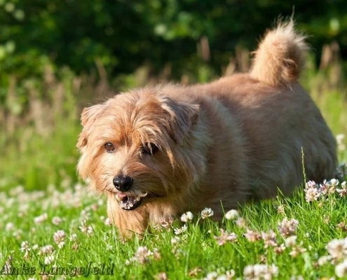 Allright True Goblin (Troll) - Norfolk Terrier