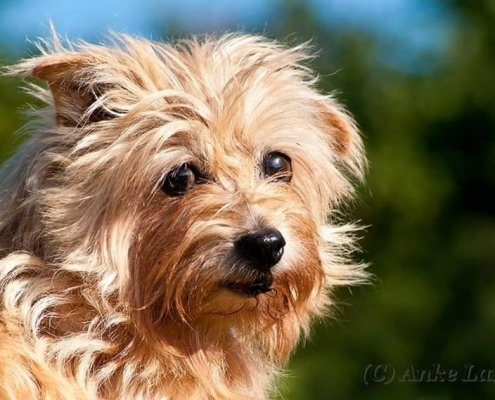 Allright Pretty Polly - Norfolk Terrier