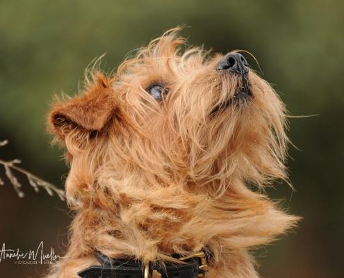 Norfolk Terrier - Allright Smart Mrs. Beasley