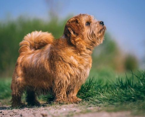 Jumping Jack Flash - Norfolk Terrier