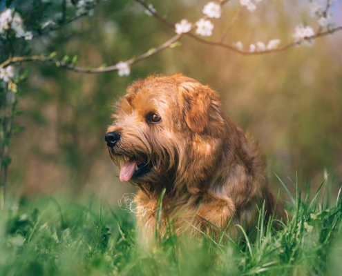 Jumping Jack Flash- Norfolk Terrier
