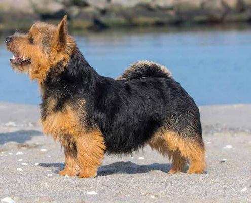 Norwich Terrier Fiete