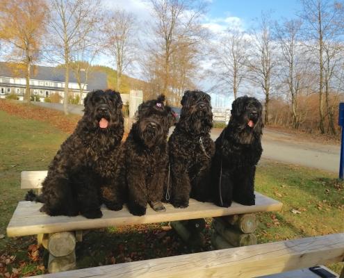 Russischer Schwarzer Terrier Chornaya-Ten