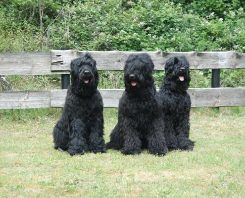 Russischer Schwarzer Terrier von Natascha