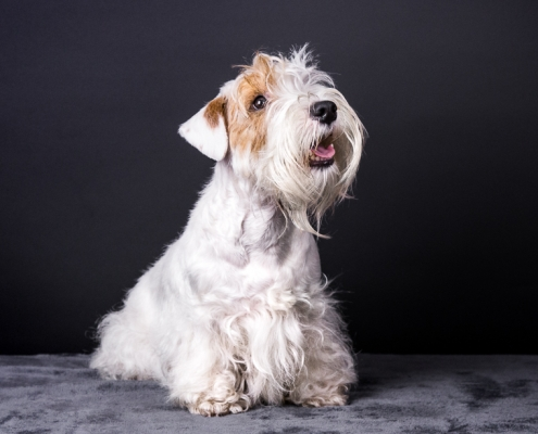 Sealyham Terrier Emma – Just a secret Amberwheat`s