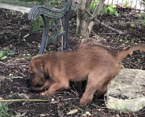 Irish Terrier vom Haseland
