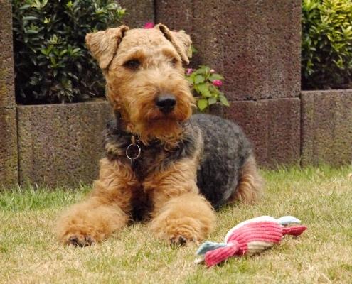 Welsh Terrier Eyko vom Granitfelsen