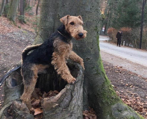 Welsh Terrier Puffy
