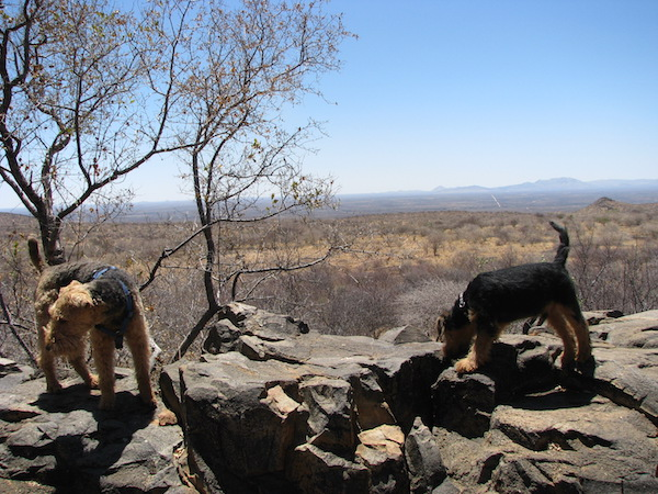 2 Welsh Terrier in Namibia