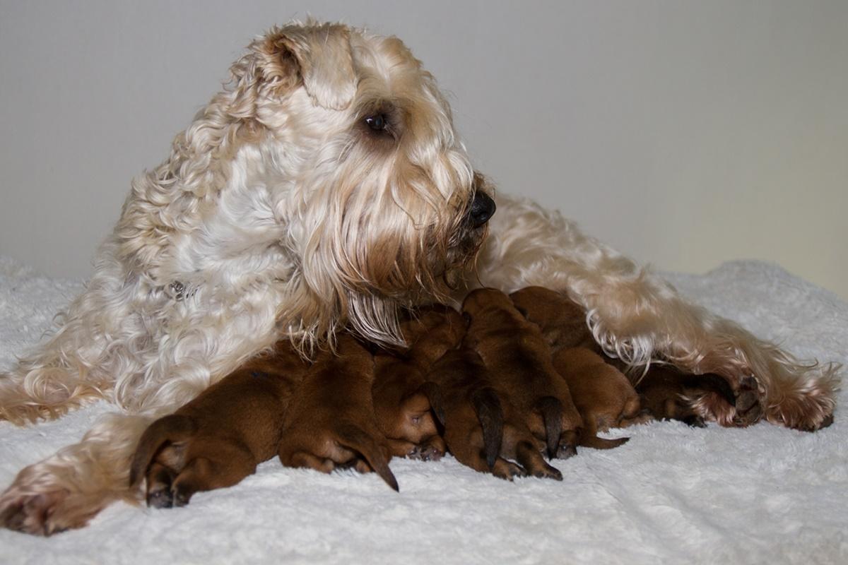 Terrierzüchter Adressliste